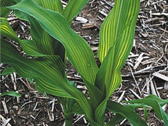 Yellow striping in corn may be linked to sulfur deficiency